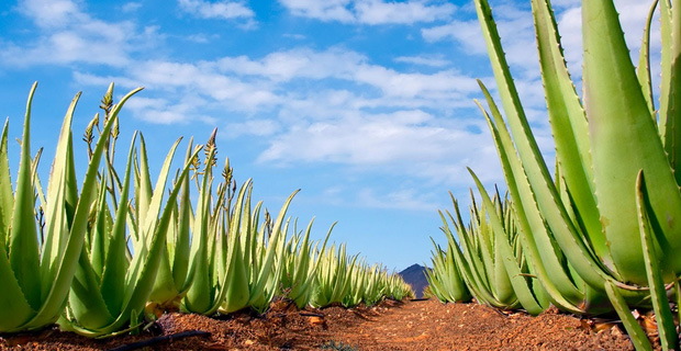 Aloe Vera can be grown in pots as well
