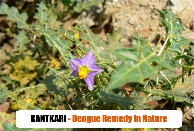 Thorny Nightshade (Kantkari) Leaves is used in dengue fever treatment in tribal medicine