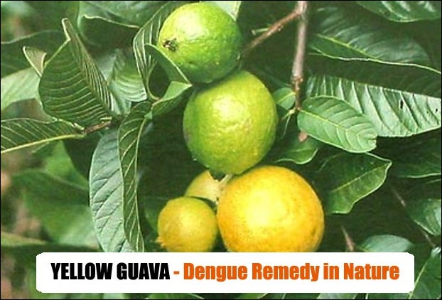 Yellow guava is also seen to increase platelets count in dengue patients